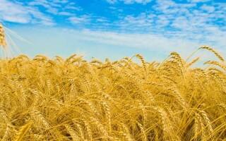 «Когда волнуется желтеющая нива» – аналіз вірша Лермонтова