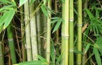 Тропічні злаки – бамбук і цукровий очерет