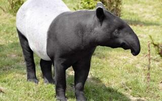 Чим відрізняються парнокопитні від непарнокопитних