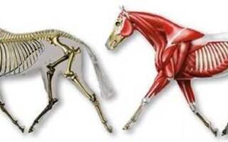 Опорно-рухова система і мускулатура ссавців