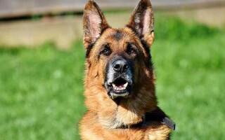 Твір «Моя улюблена тварина – собака»