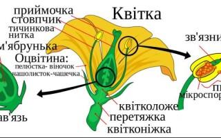 ✅Генеративні органи рослини