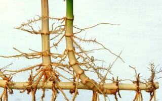 Чим відрізняється кореневище від кореня
