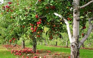 Твір за прислів'ям: «Яблуко від яблуні недалеко падає»