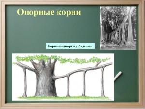 Опорні коріння