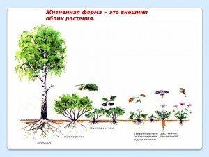Що таке життєва форма рослини
