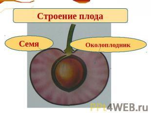 Утворення і будова плодів