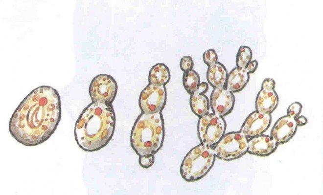 Дріжджові гриби
