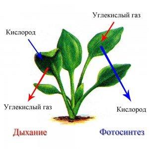 Доказ поглинання рослиною вуглекислого газу