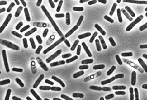 Грунтові бактерії