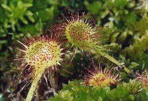 Пагони комахоїдних рослин