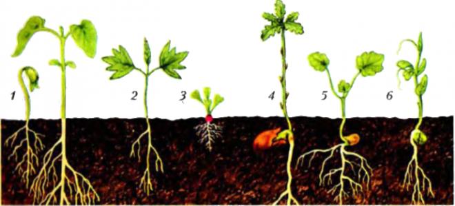 Надземне та підземне проростання насіння