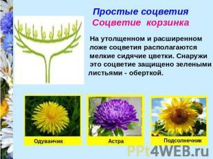 Прості суцвіття