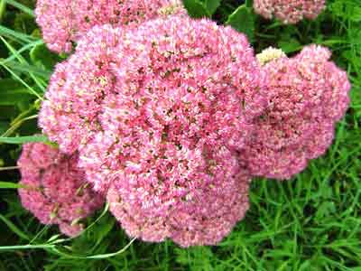 Сімейства квіткових рослин
