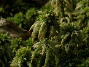 торф'яні мохи