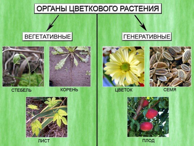 Вегетативні органи рослини