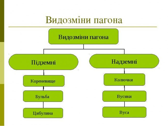 Вегетативні і генеративні пагони