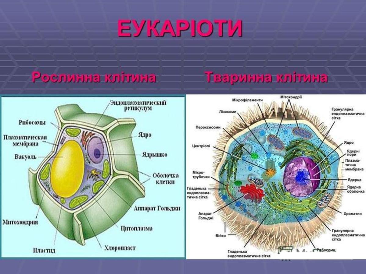 еукаріоти
