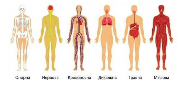 Системи організму