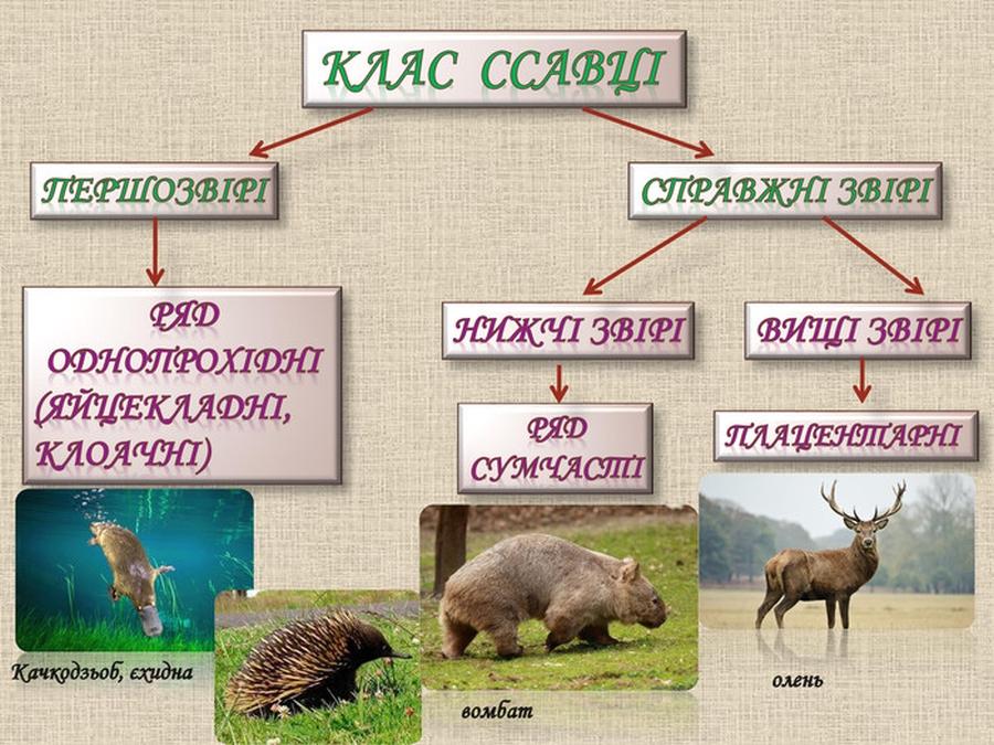 Клас ссавці