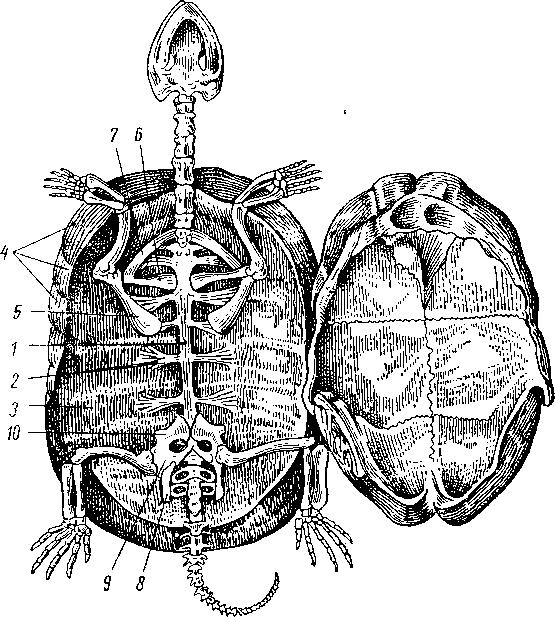 Будова скелета черепахи.