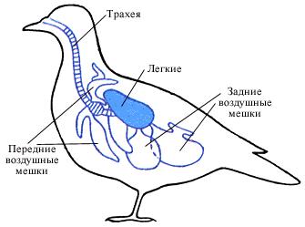 Дихальна система птахів.