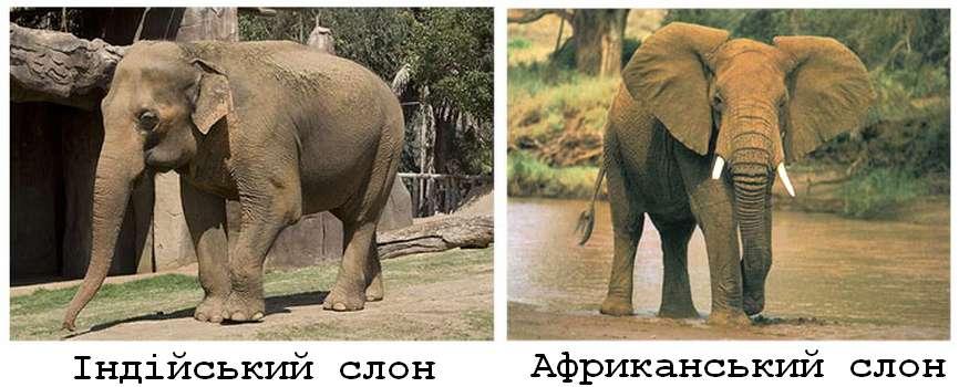 ✅Відмінність між африканським і індійським слоном